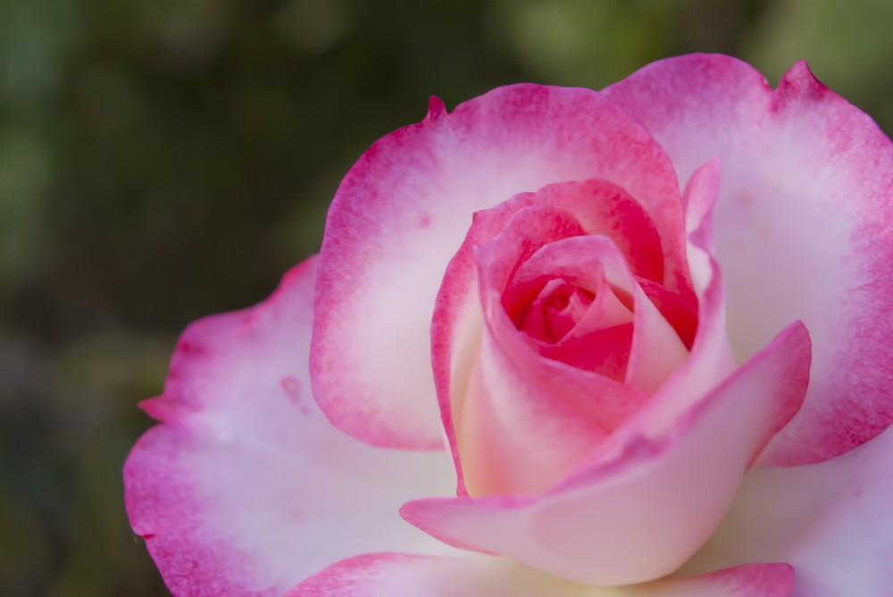 富山県花総合センター(エレガガーデン) バラ見ごろ