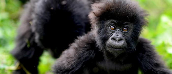 Dian Fossey Gorilla Fund | Charities | BARAKA
