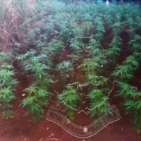 Police seize cannabis plants