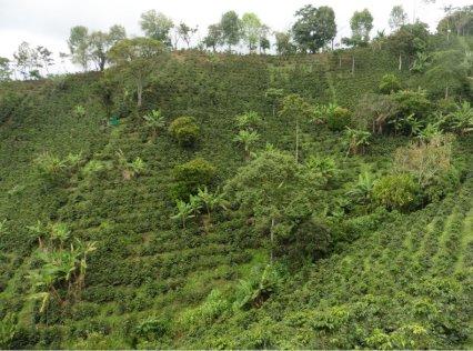coffee plantage