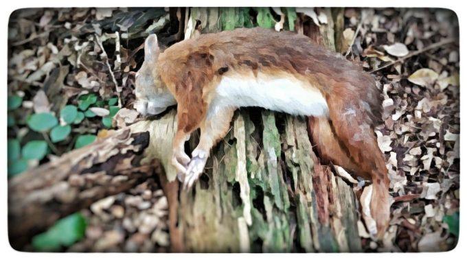 rode eekhoorn, dood, liggen dwars over een oude eveneens dode boomstam