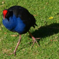 Red Seal Coot or Purple Swamphen?