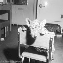 Un giaguaro cucciolo nel nido del Bronx Park Zoo, New York, 1950