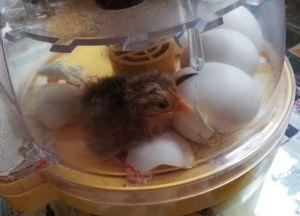 chick in incubator