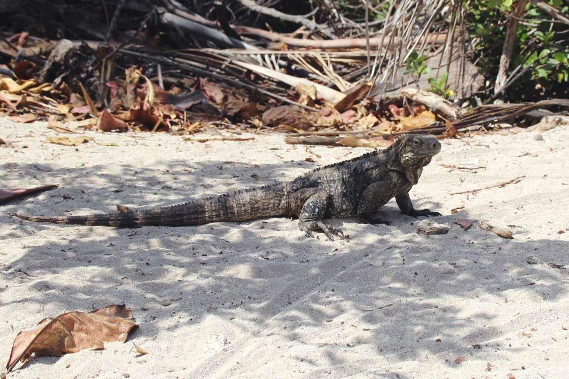 Cayo Iguanas