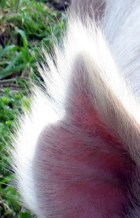 hair-of-pig