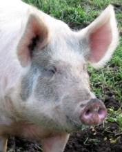 pig-meditation
