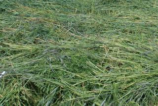 A rye-clover-vetch mix makes a fine green manure