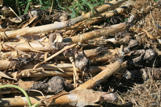 Rotted garlic were put in the burn pile