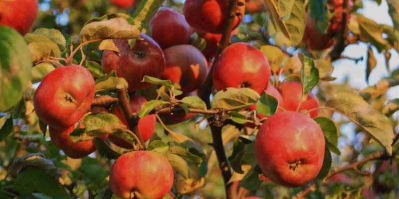 Fall Abundance – and a Great Recipe for Apple Cake