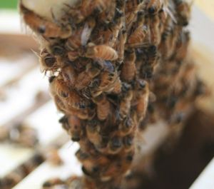 Clump of honeybees