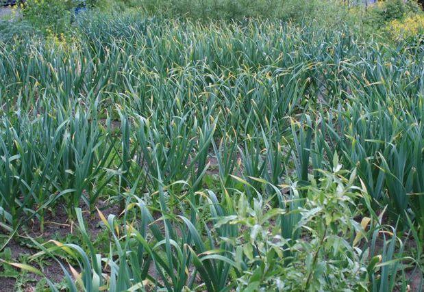 Garlic Status – Memorial Day Plant Survey
