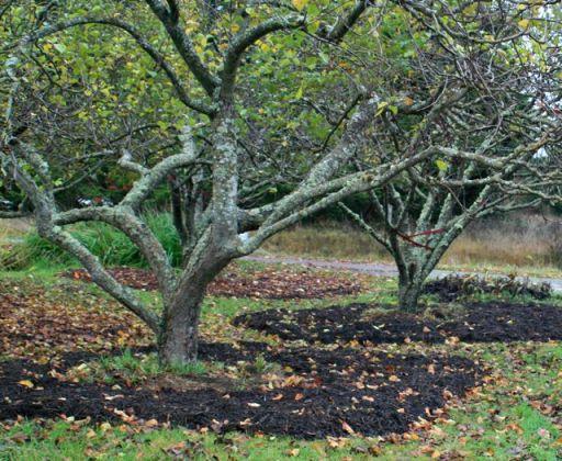 mulch around orchard trees