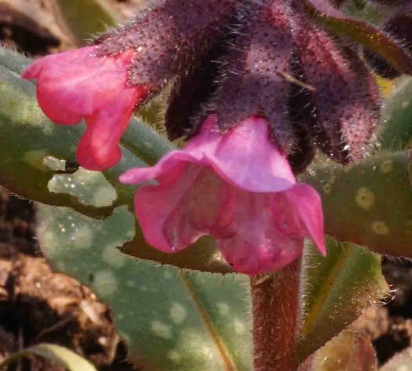 Barbolian Fields March Blooms: Pulmonaria