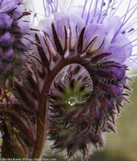 Drop of water in Phacelia curl