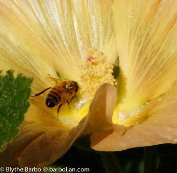 Bee in Hollyhock Flower