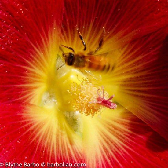 Bee in Red Hollyhock Flower