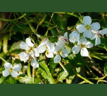 Wasabi Arugula flowers