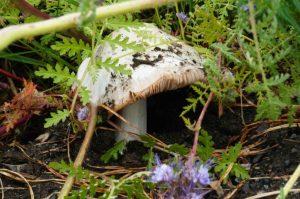 garden mushroom in orchard: fruiting fungus!