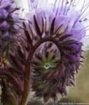 Phacelia curl