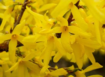 Forsythia flowers closeup