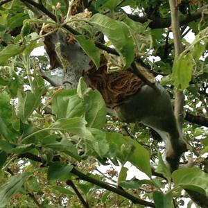 Tent caterpillar nest in treetop