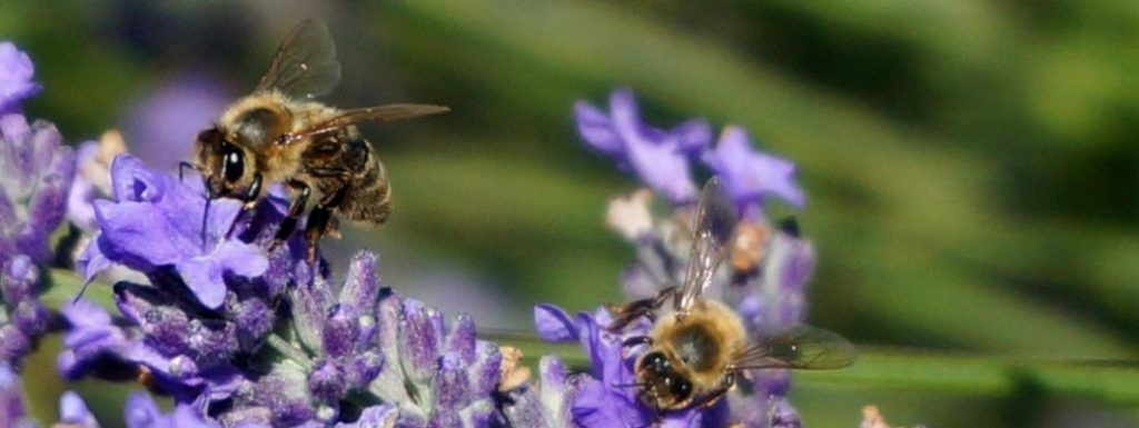 honeybees on lavender buds
