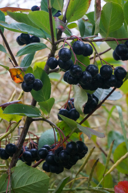High in antioxidants, Aronia berries are a tasty addition to the garden.