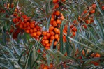 Seaberries - aka Sea Buckthorn
