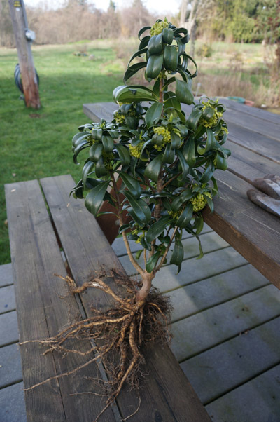 Daphne laureola, removed