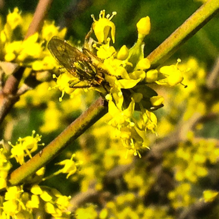 A happy bug on a Cornelian Cherry blossom.