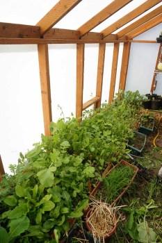 Greens in Solexx Greenhouse