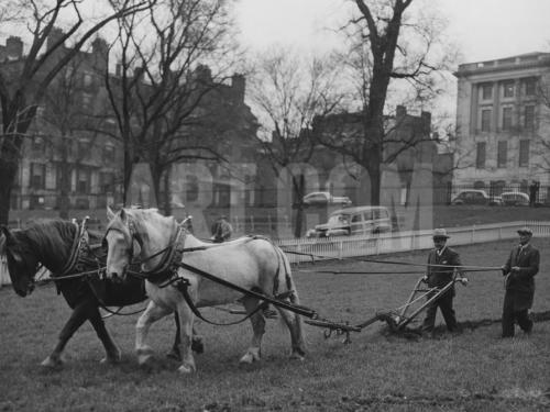 Plowing Boston Common for a Victory Garden