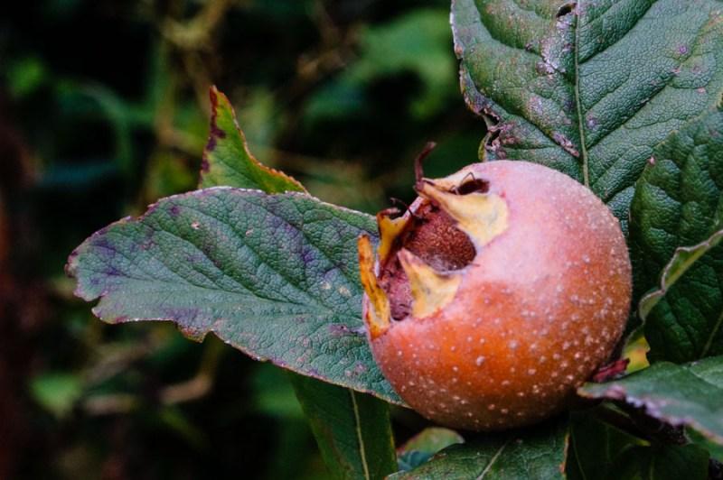 Medlar apple