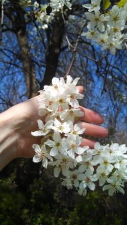 IMG_20160326_150107_983 Pear tree flowers 2