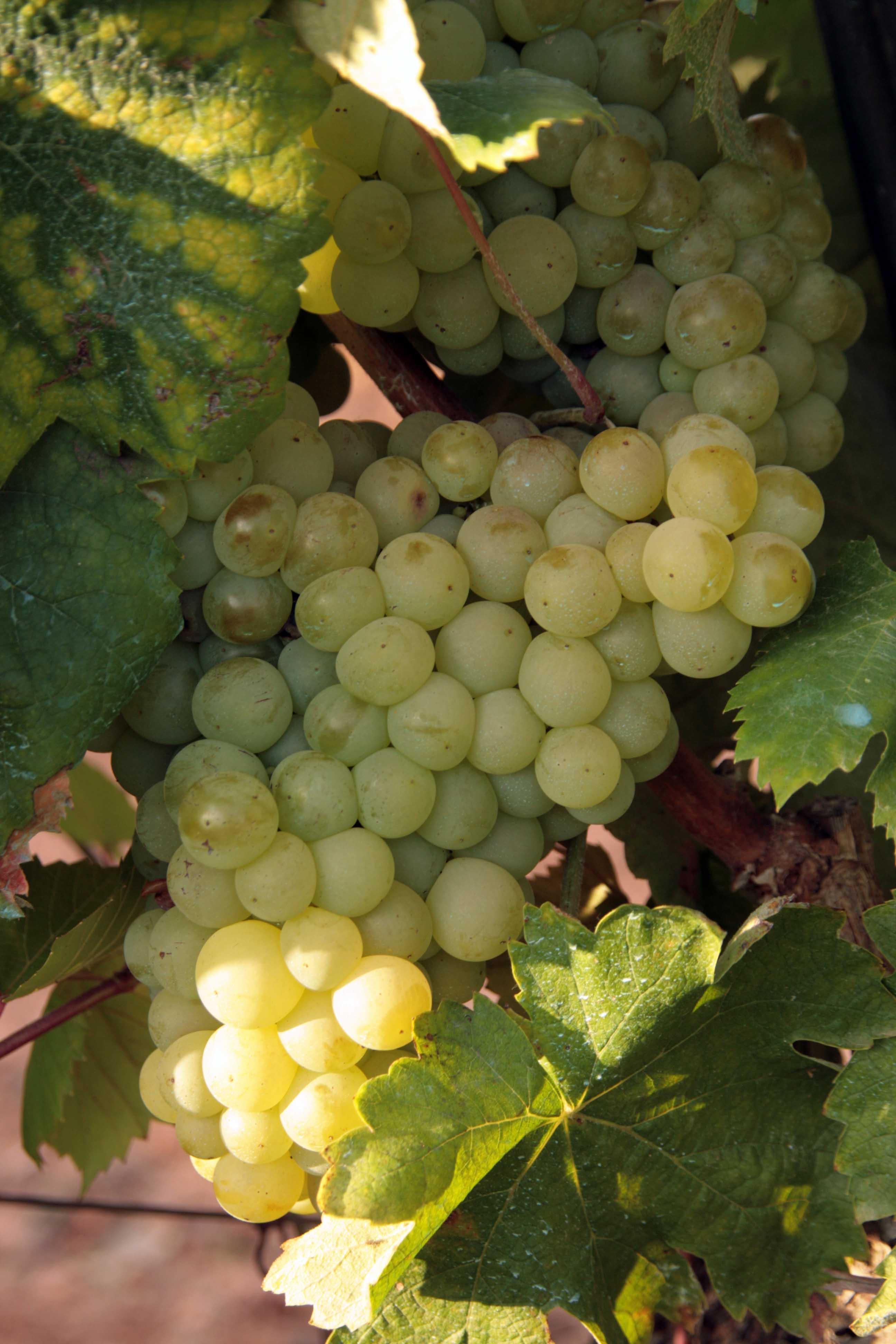 druiven augustusi