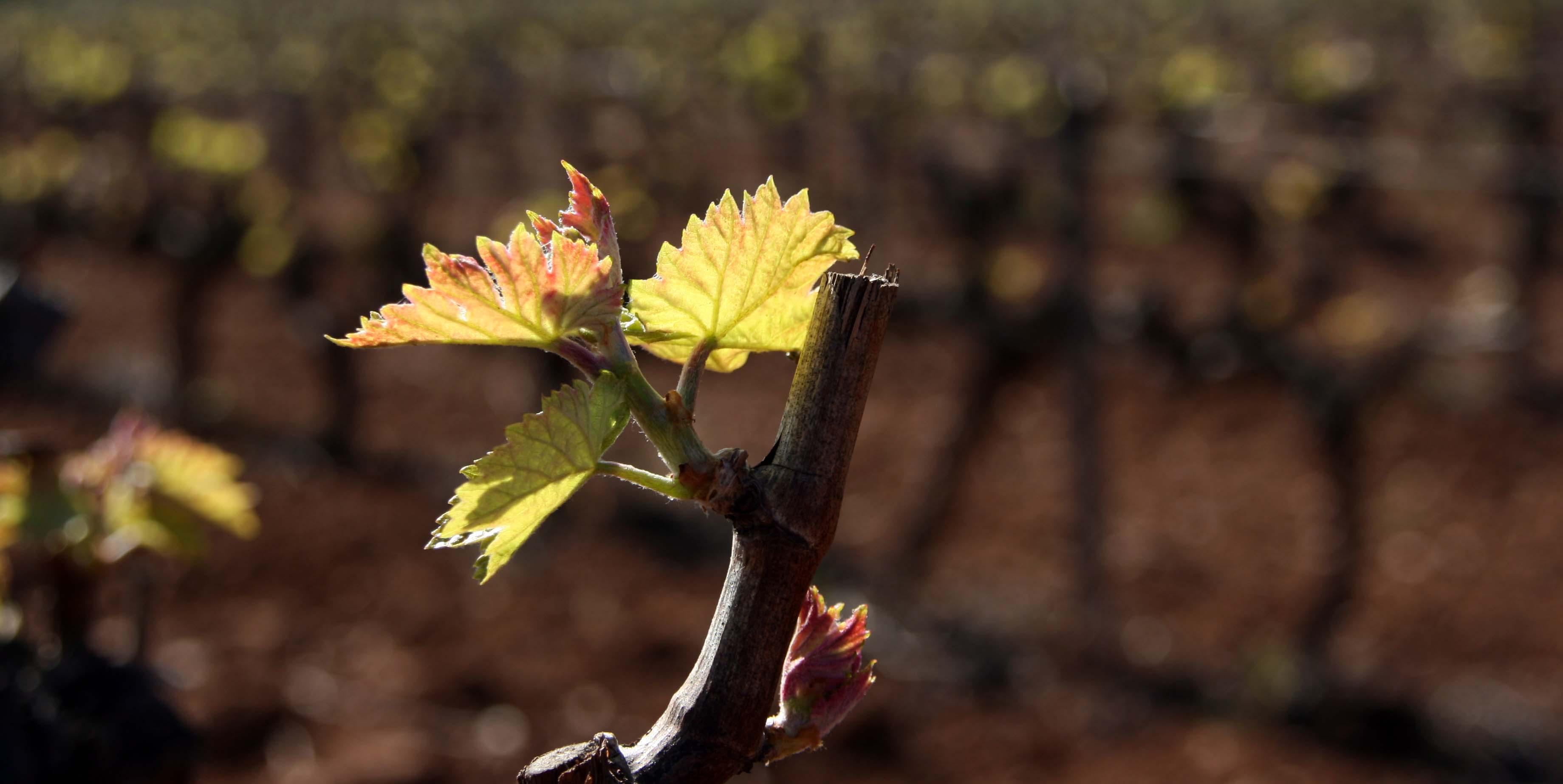 druiven maart