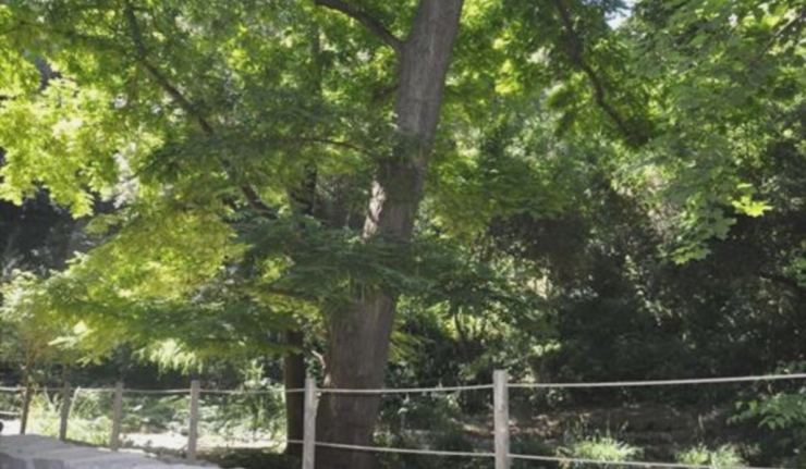 el-nogal-alado-del-sot-de-l-estany-jardin-botanico-historico-barcelona (1)