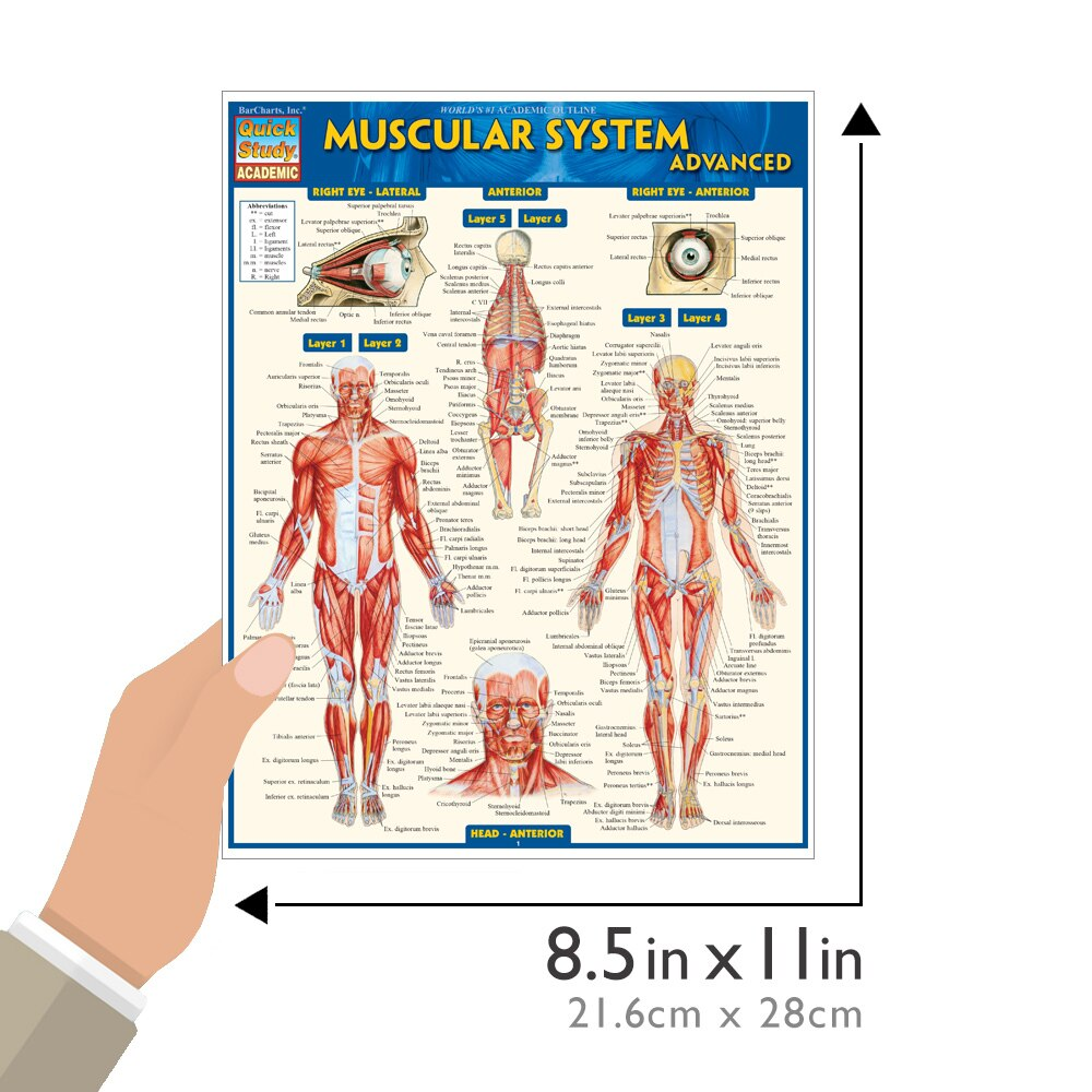 Quick Study QuickStudy Muscular System Advanced Laminated Study Guide BarCharts Publishing Academic Medical Guide Size