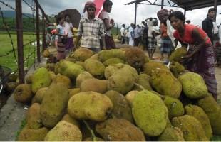 সুনামগঞ্জের সীমান্ত গ্রামগুলোর কৃষকরা কাঁঠালের ন্যায্য মূল্য থেকে বঞ্চিত