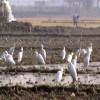 দেশিয় সাদা বকের অস্তিত্ব রক্ষায় প্রয়োজন কীটনাশকমুক্ত ফসল উৎপাদন