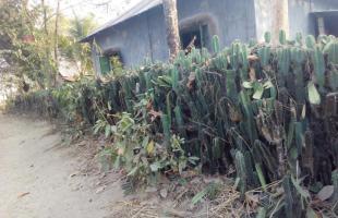 সিজু গাছ: আদিবাসীদের বাড়ি সুরক্ষার প্রাকৃতিক বেড়া