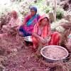 মানিকগঞ্জের চরাঞ্চলে এবার বাদাম চাষীদের মুখে হাসি