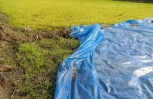 Rice Paddy field-1