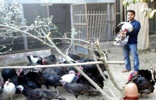 মানিকগঞ্জে টার্কি মুরগীর খামার করে স্বাবলম্বী তোফাজ্জল