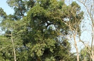 মানিকগঞ্জে ২০০ বছরের পুরনো 'অচিন বৃক্ষ'