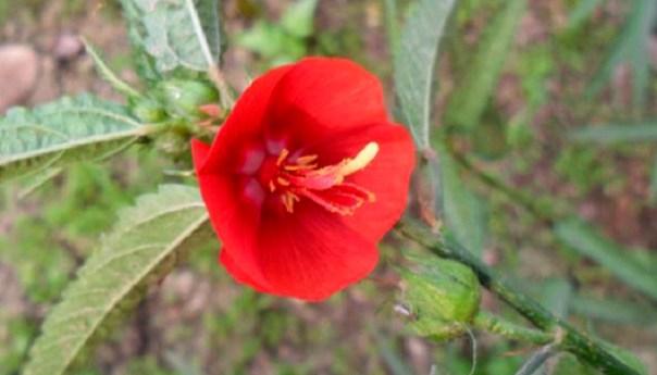 অনিন্দ্য সুন্দর ফুল দুপুরমনি: দুপুরে ফোটে- বিকালে ঝড়ে যায়