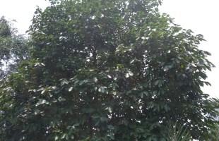 হারিয়ে যাচ্ছে পঞ্চ ফলের অন্যতম ফল কালো জাম