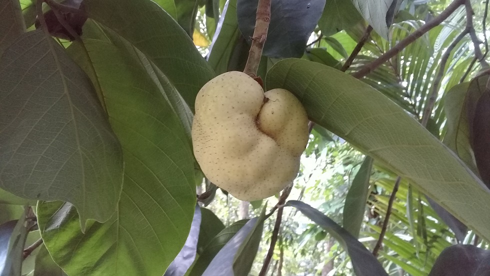 Debu Fruit 1