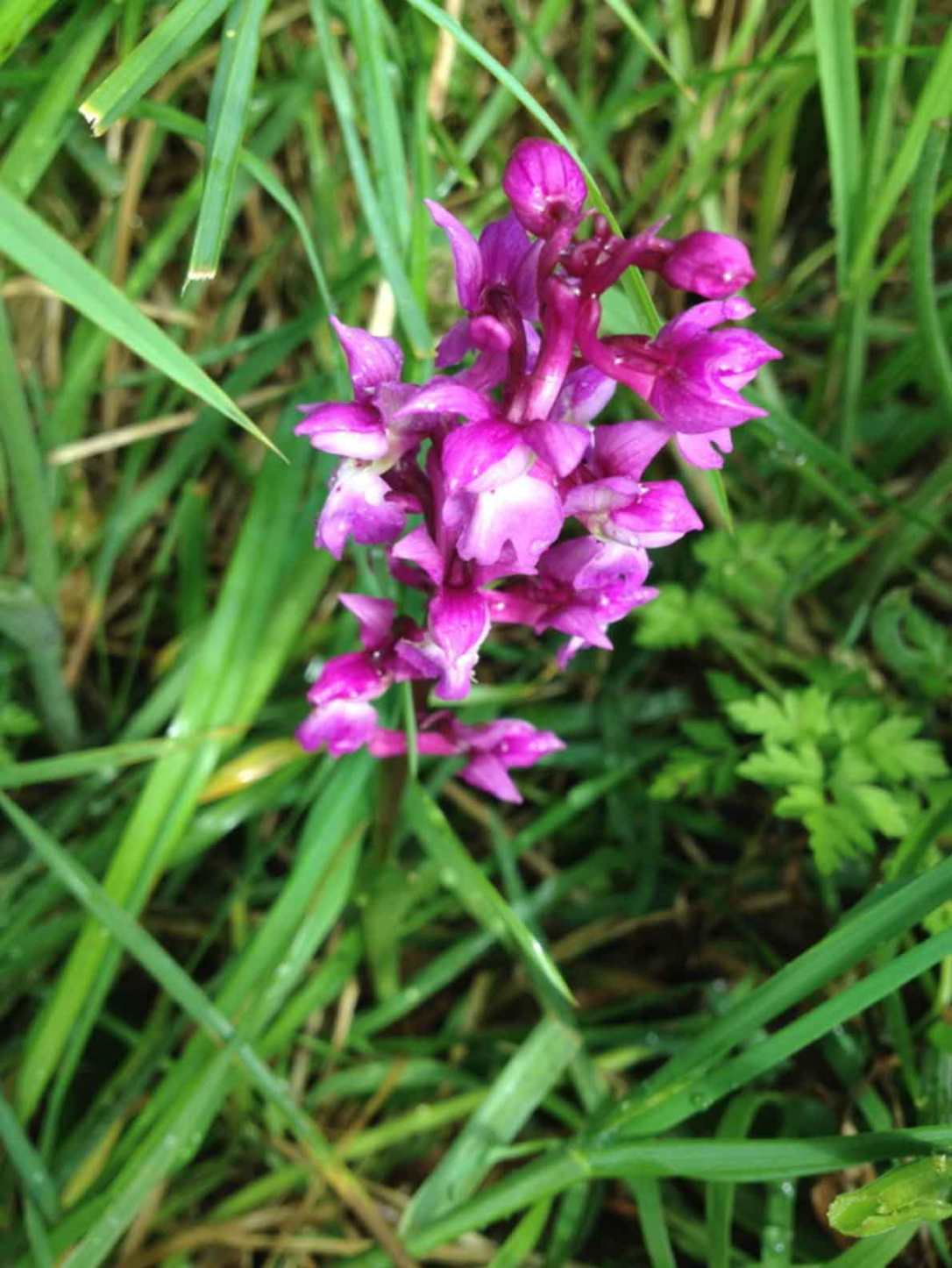 a pink wild orchid growing in the meadow at barefoot glamping Cornwall